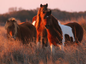 Assateague Island horses campsites